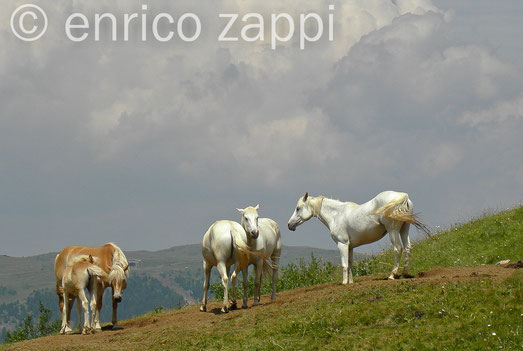 Cavalli sull'altopiano dello Scilliar