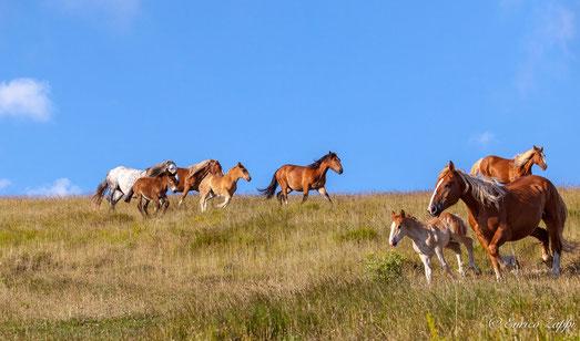 Cavalli e Mucche sugli alti pascoli del Monte Catria