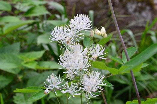 里で咲くカラマツソウ・・・絶滅危惧種だそうです
