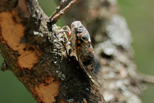 _DSC5893-cigale-Cicada orni-Corse