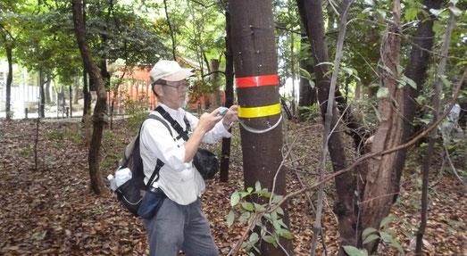 阿比太神社(市指定保護樹林)でナラ枯れを調査中のボランティア(黄テープ→被害木、赤テープ→うち枯死木。8/12)