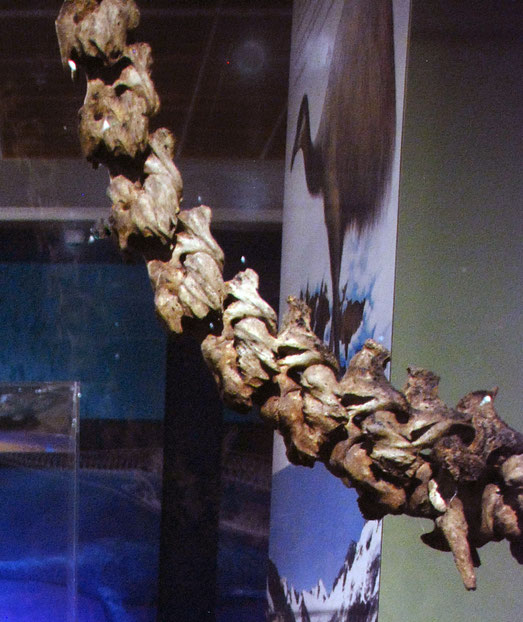Neck vertebrae of the South Island giant moa - dinornis robustus - in the Otago Museum, Dunedin. Adult females stood up to 2 metres high at the back, and could reach foliage up to 3.6 metres off the g