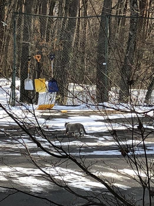 2月9日。溶けかけて凍った雪や寒さをものともせず悠然とした足取りでアパートの駐車場を横切る貫禄猫。
