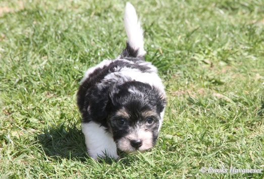 Havaneser, Bichon Havanais, Havanese puppies in germany