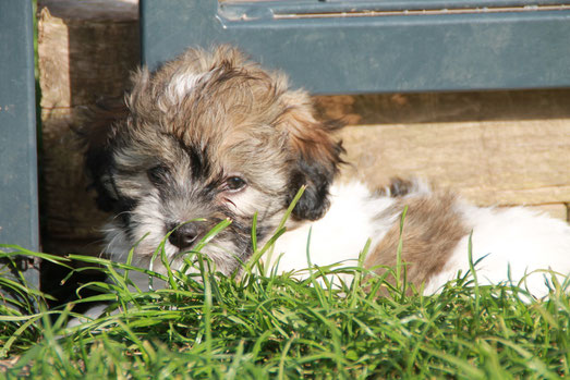 HAVANESER, Havanese puppies in germany/Europe, Havanese litter