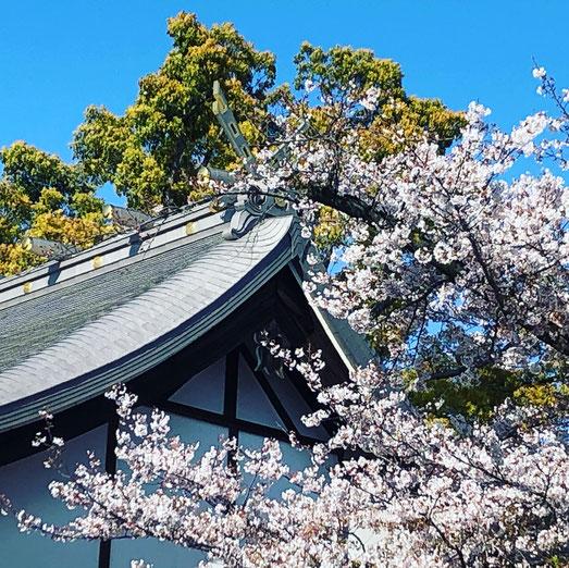 皇大神社 チタン屋根 桜