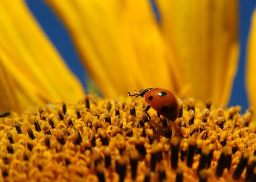 Marienkäfer, Sonnenblume, ©Carmen Weder - Art of Moment