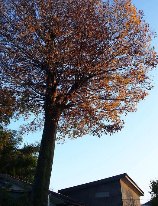 11月29日(2014)ケヤキの大木の紅葉(小金井公園の近くの農家にて)