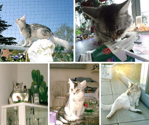 Silbersomali-Katze Tracy