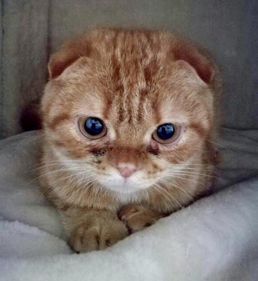 Scottish Fold Katze Camilla leidet an schweren Symptomen von OCD