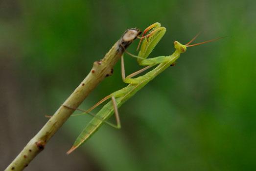 _DSC6107-Mante religieuse-Mantis religiosa-Mantidae