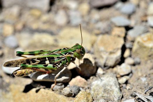 _JPM1496-Criquet vert-oedoleus decorus vert-Orthoptères