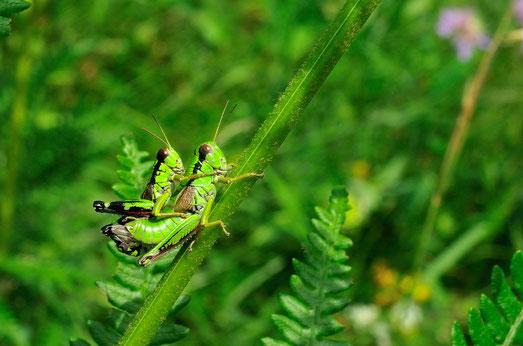_DSC5808_Criquet vert-Oedipode Souffré-Oedaleus decorus-Orthoptéra