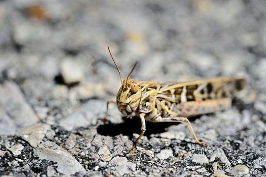 __JPM1505-Criquet souffré-oedoles decorus soufré-Orthoptera_Acrididae