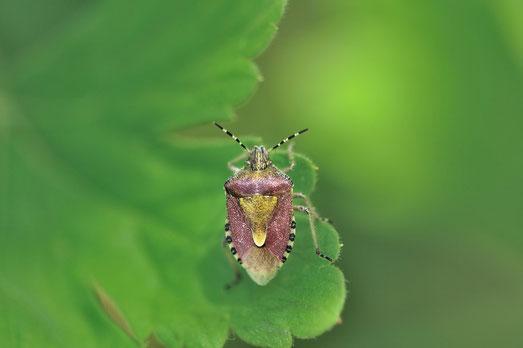 _DSC5946_Punaise des baies-Pentatome des baies-Dolycoris baccarum-Pentatomidae