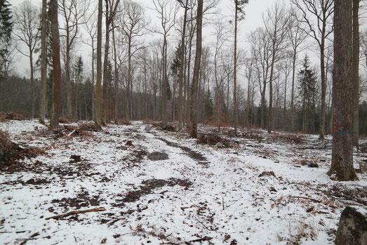 Ein aufbereitetes Gebiet für die Nutzung als Waldweide ab 2019. Der lichte Charakter bietet ausreichend Besonnung für die Laichgewässer der Gelbbauchunke.