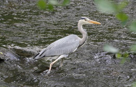 Graureiher (Ardea cinerea) Adulter Vogel bei der Fischjagd in der Ahr (Nähe Altenahr, Kr. Ahrweiler, RLP) [Mai]