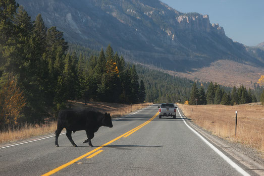 Cattle on the road, Wyoming, bison and cow, wildlife in Wyoming