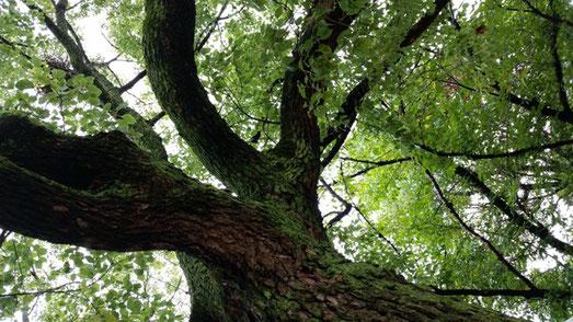 公園のマザーツリー