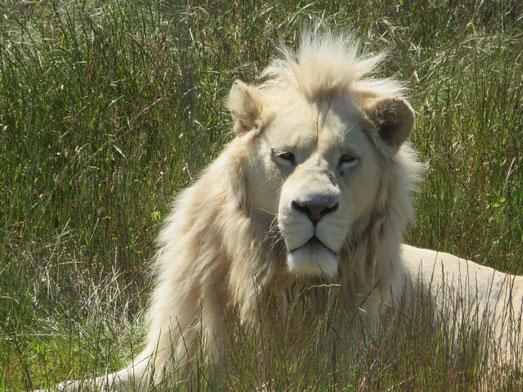ホワイトライオン(メリッサのお父さん撮影)