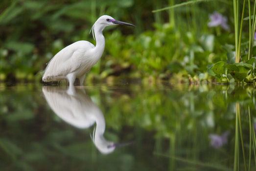 Aigrette des récifs forme claire, oiseau, Sénégal, Afrique, safari, stage photo animalière, Jean-Michel Lecat, photo non libre de droits