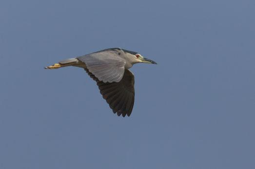 Bihoreau gris oiseau Sénégal Afrique Stage Photo J-M Lecat Non libre de droits