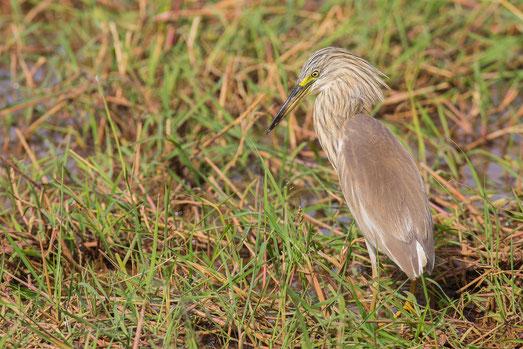 Héron crabier chevelu oiseau Sénégal Afrique Stage Photo J-M Lecat Non libre de droits