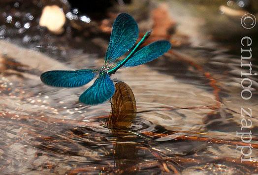 Calopteryx Virgo (♂) colto in volo sull'acqua mentre afferra per le ali la femmina che è sott'acqua intenta alla deposizione delle uova, al fine di aiutarla a fuoriuscire.