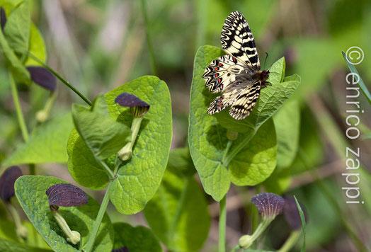 Zerynthia polyxena sulla pianta dove depone le uova e di cui si nutrono i bruchi: Aristolochia rotunda L.