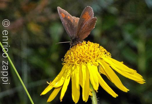 Erebia : farfalla appartenente alla famiglia delle Nynphalidae