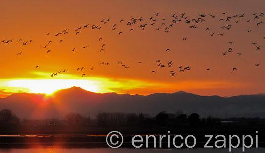 7 gennaio 2012 - Saline di Cervia- Tramonto con volo di Avocette