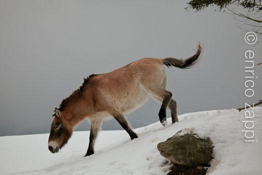 Cavallo di Prezewalski