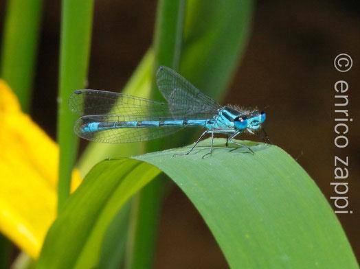 Nel periodo di inizio estate, intorno agli stagni la vita è frenetica e le libellule, con i loro colori, allietano l'ambiente con i loro voli.