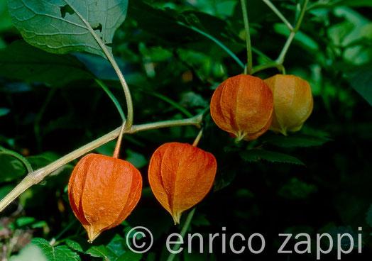Frutti di Alkekengi - Physalis alkekengi