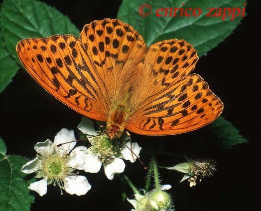 Argynnis paphia  ♂