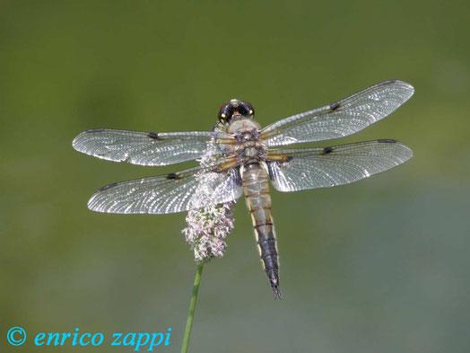 Libellula depressa ( ♀ ) in posizione di riposo su fiore.