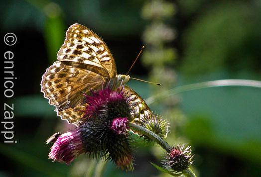 Argynnis Paphia f. Valesina ♀