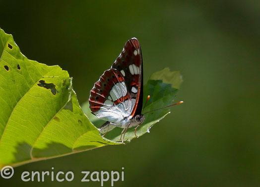 Limenitis Reducta (Staudinger, 1901): bellissima farfalla ma molto difficoltosa da avvicinare. Staziona generalmente sulla vegetazione alta degli alberi e non è molto facile poterla immortalare.