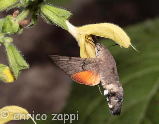 Macroglossum Stellatarum (Linnaeus, 1758): la farfalla che sembra un colibrì si libra in volo suggendo il nettare dei fiori con la lunga spirotromba.
