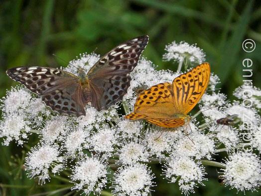 Argynnis Paphia coppia con la ♀ f. Valesina, a destra il ♂