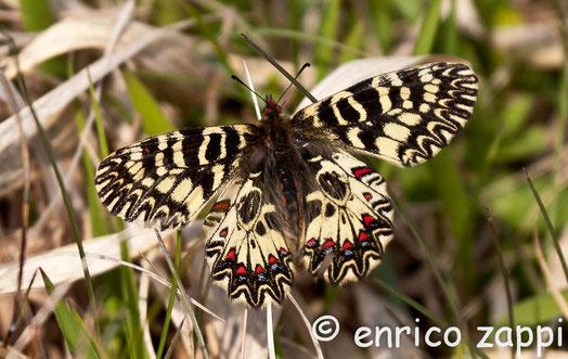 Zerynthia polyxena (Denis & Schiffermüller, 1775), lepidottero precoce, appartenente alla famiglia dei Papilionidae ( a cui appartengono il Macaone ed il Podalirio), sfarfalla fra la fine di marzo ed il mese di aprile. Piuttosto localizzata.