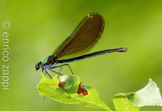 Calopteryx Virgo (♀)