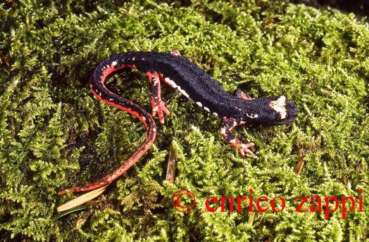 Salamandrina perspicillata Savi, 1821