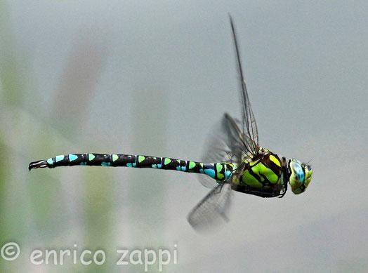 Libellula in volo, Anax sp. molto massiccia e colorata con un volo possente veloce e scattante.