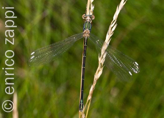 Chalcolestes viridis (Vander Linden, 1825) è una libellula della famiglia Lestidae (sottordine Zygoptera). Piccola ed esile libellula, con un volo estremamente leggiadro, ha un eleganza ed un portamento che la rendono molto attraente e fotogenica.