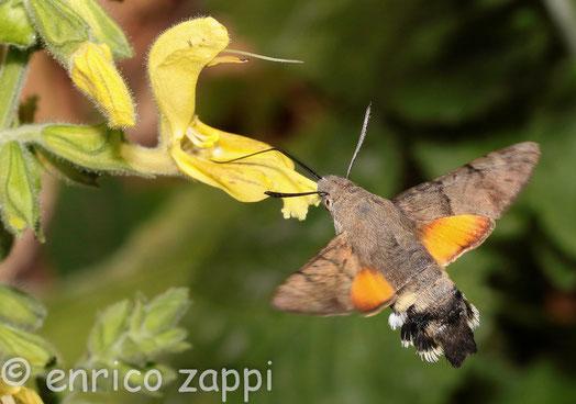 Macroglossum Stellatarum, l'arte di suggere il nettare dei fiori con la lunga spirotromba librandosi sospesa in volo.