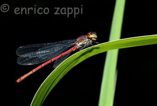 Le libellule sono formidabili predatori e si cibano di altri insetti che carpiscono al volo.