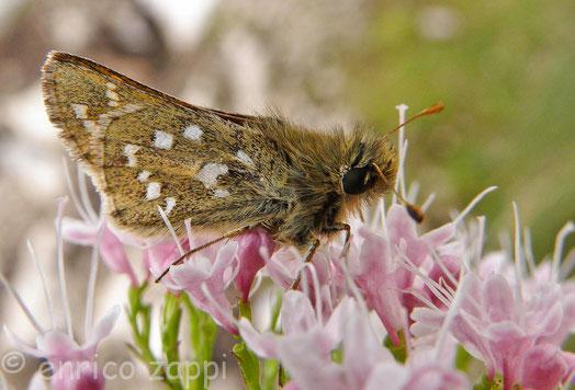 Minuscola farfalla appartenente alla famiglia delle Hesperiidae.