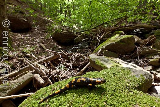 Salamandra salamandra Linnaeus, 1758 nel suo ambiente naturale