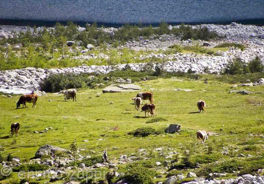 Vacche al pascolo in prossimità del lago